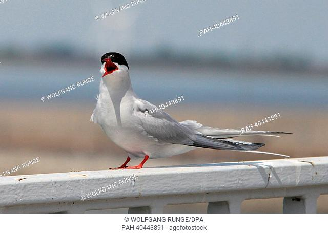 An Arctic Tern (Sterna paradisaea) sits on a metal fence at the Eider Barrage near Wesselburenerkoog, Germany, 08 June 2013