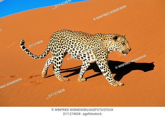 Leopard (Panthera pardus). Dunes of the Namib Desert