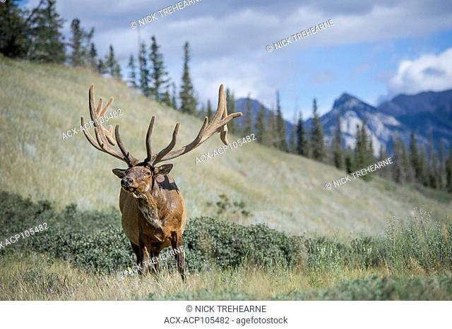 Rocky Mountain Elk Cervus, canadensis nelsoni, Canadian Rockies