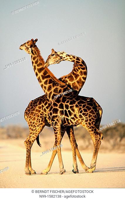 Giraffe Giraffa camelopardalis, bulls fighting, National Park Etosha, Namibia