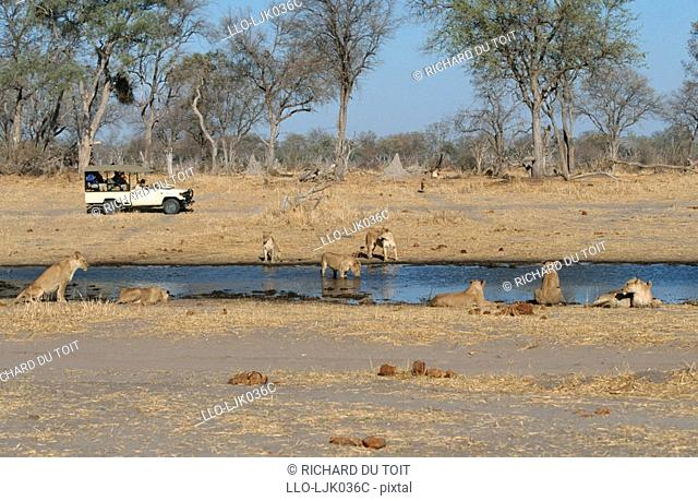 Tourists watching a pride of lions from their 4X4 vehicle, Moremi Wildlife Reserve, Botswana