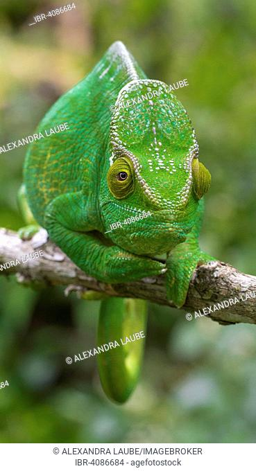 Parson's chameleon (Calumma parsonii parsonii), female, eastern Madagascar, Madagascar