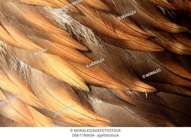 aigle royal  Detail plumage  Golden Eagle Aquila chrysaetos Order : falconiformes family : accipitrides