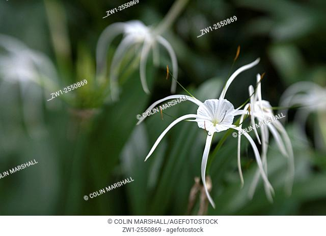 White Orchid flowers (Orchidacaea family), Botanical Gardens, Singapore