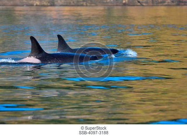 Killer whales Orcinus orca swimming in water, Vancouver Island, British Columbia, Canada