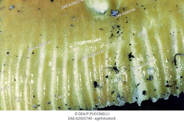 Detail of the striated edge of a Caesar's Mushroom (Amanita Caesarea), Amanitaceae