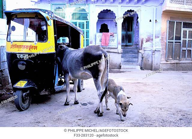 Rickshaw, cow and dog at the blue village, Jodhpur. Rajasthan, India