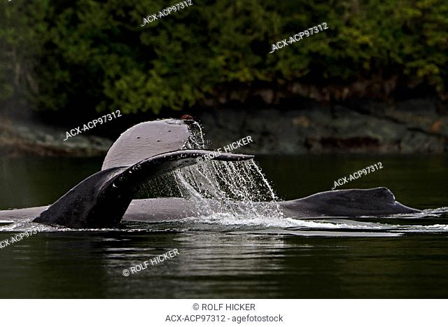 Two Humpack Whales (Megaptera novaengliae) traveling along the British Columbia coastline, Great Bear Rainforest, British Columbia, Canada