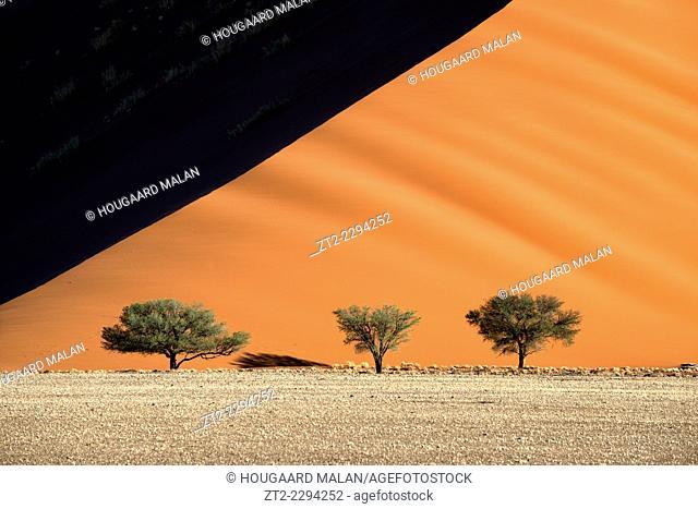 Landscape photo of three camelthorn trees below a large dune. Sossusvlei, Namib Naukluft National Park, Namibia