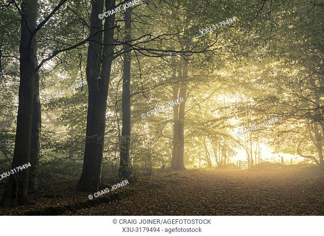 Morning mist at sunrise in Stockhill Wood, Mendip Hills Area of Outstanding Natural Beauty, Somerset, England