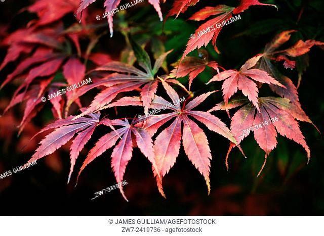 Acer Palmatum variety Bloodgood Autumn/fall colour