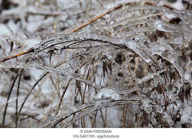 Plants covered in ice after an ice storm in Toronto, Ontario, Canada. - TORONTO, ONTARIO, CANADA, 25/03/2016