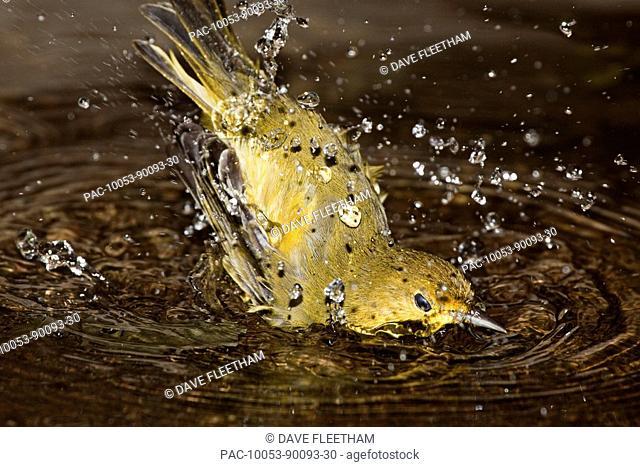 Ecuador, Galapagos Archipelago, Santa Cruz Island, Galapagos Mangrove Warbler or yellow warbler Dendroica petechia aureola taking a bath in water