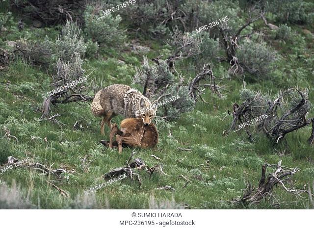 Coyote Canis latrans, with prey, Rocky Mountains, North America