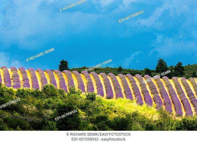 lavender field with trees, Provence, France