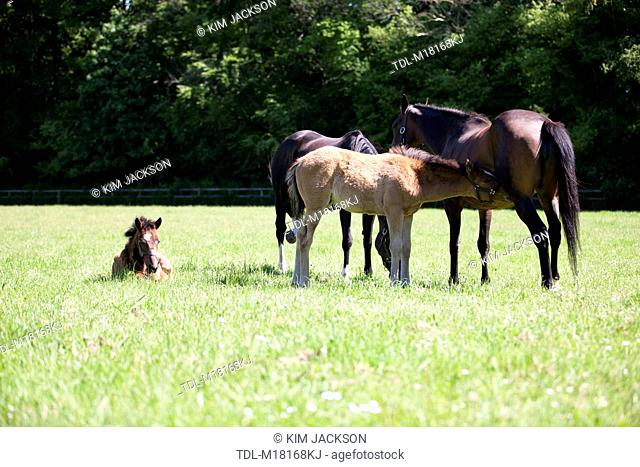 Mares and their foals grazing in a paddock