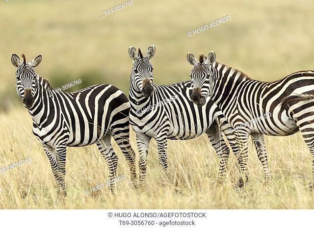 Group of Grévy's zebra. Equus grevyi. Kenia. Africa