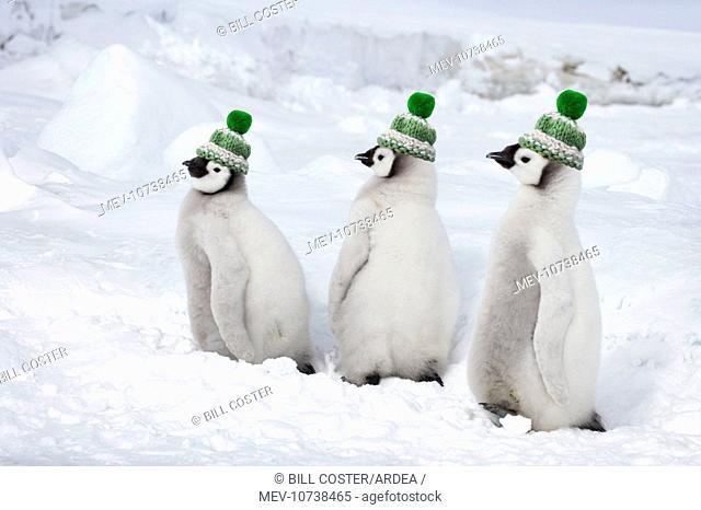 Emperor Penguin - Chicks wearing woolly hats. (Aptenodytes forsteri)