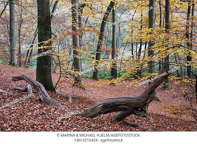 European Beech; Common Beech; Fangus sylvalica; Schleswig-Holstein; Germany