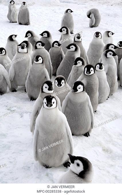Emperor Penguin (Aptenodytes forsteri) chicks, Snow Hill Island, Antarctica
