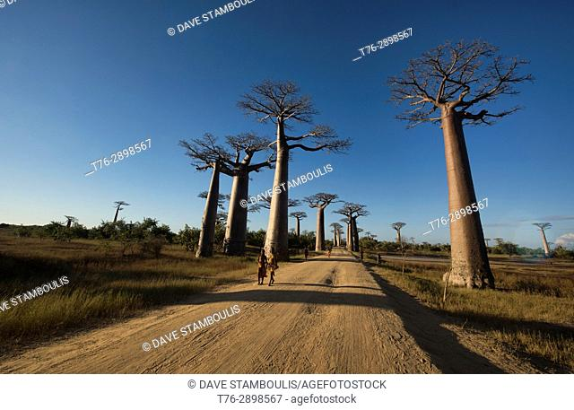 Late afternoon light on the Avenue of the Baobabs, Madagascar