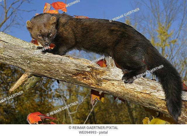 Full length North American Marten looking down while climbing a dead tree in the Fall