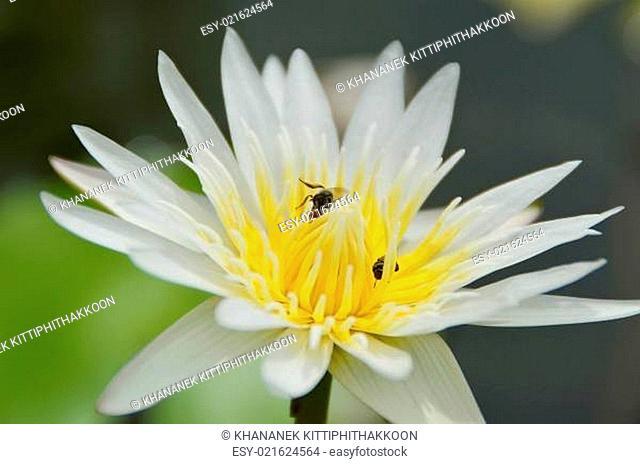 close up white lotus