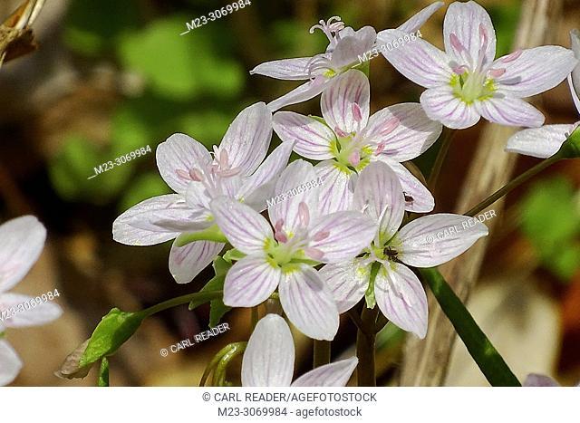 Common mallow, Malva Sylvestris, is a common though lovely spring flower, Pennsylvania, USA