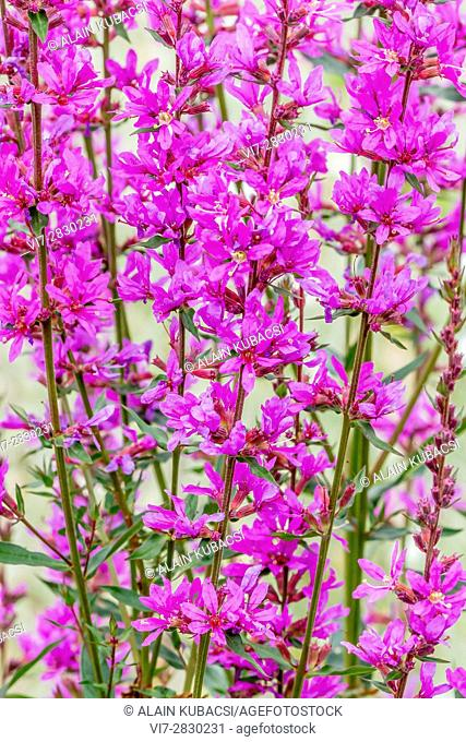 Purple loosestrife / Lythrum virgatum 'Rose Queen'