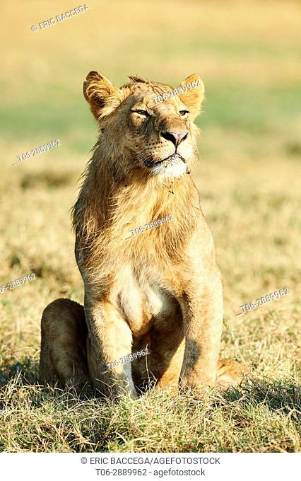 African juvenile lion (Panthera leo) aged 2 year old sitting on grass. Duba Plains concession, Okavango delta, Botswana