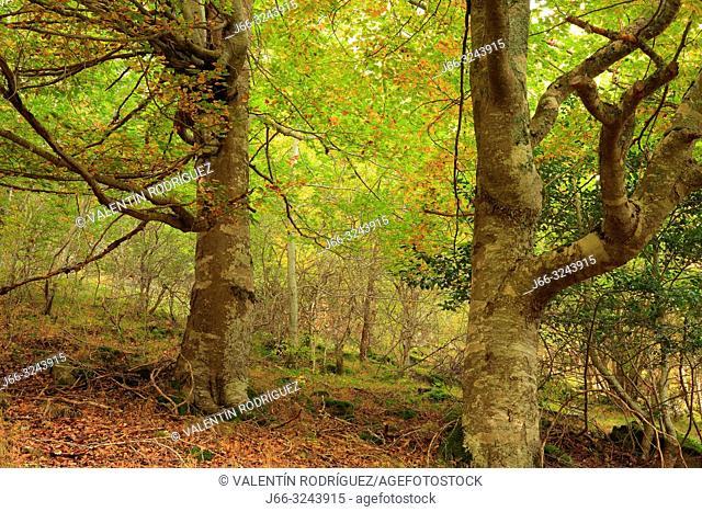 Beech forest in Las Rameras ravine in the Sierra Cebollera. La Rioja