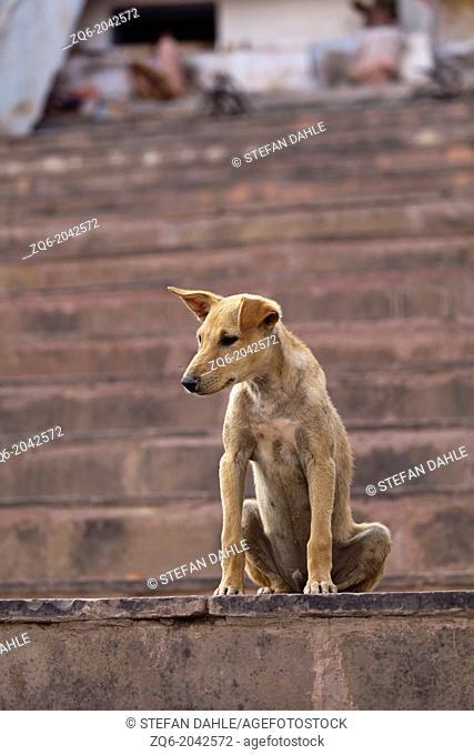 Dog in Varanasi, India