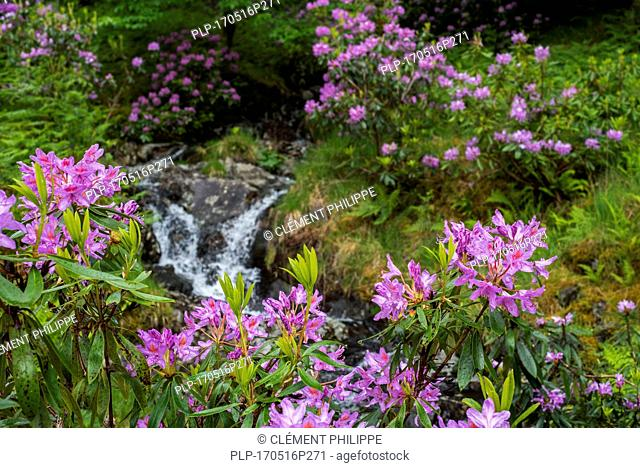 Common rhododendron / Pontic rhododendron (Rhododendron ponticum) in flower along stream, invasive species in the Scottish Highlands, Scotland
