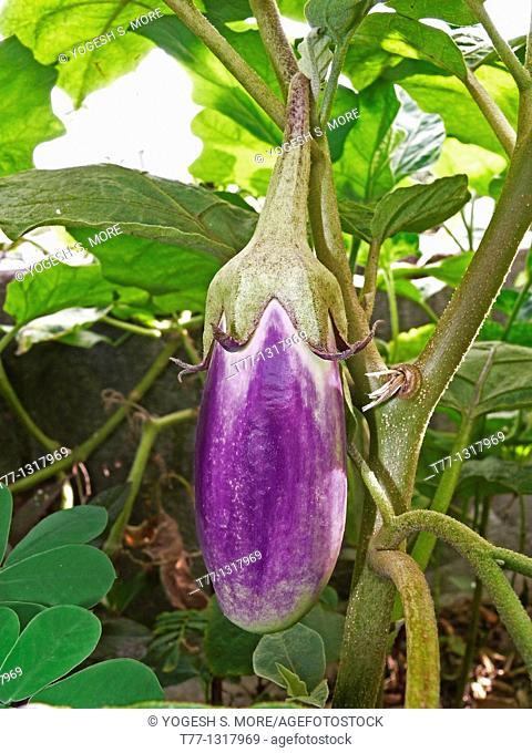 Terung Panjang, Brinjal on plant