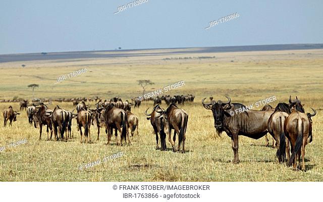 Migration of the wildebeest (Connochaetes taurinus), Masai Mara, Kenya, Africa