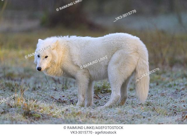 Arctic Wolf, Polar Wolf, Canis lupus arctos, in winter, Germany