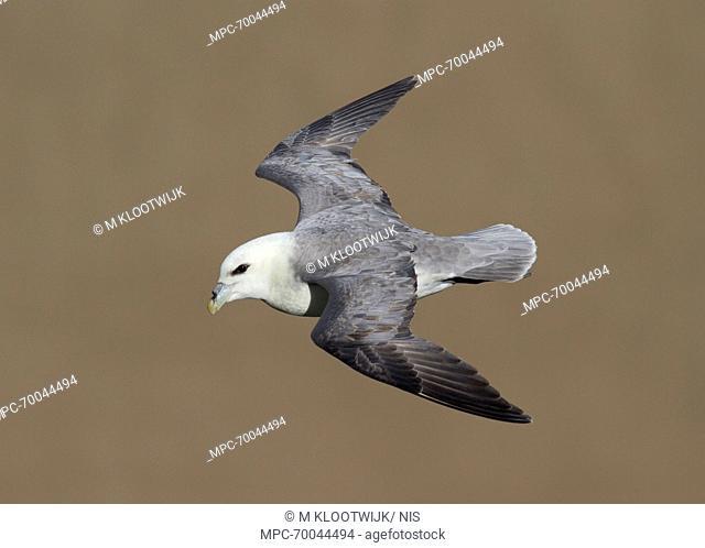 Northern Fulmar (Fulmarus glacialis) flying, Cap Blanc Nez, Pas-de-Calais, France