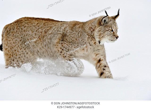 Eurasian lynx Lynx lynx, Bozeman, Montana, USA
