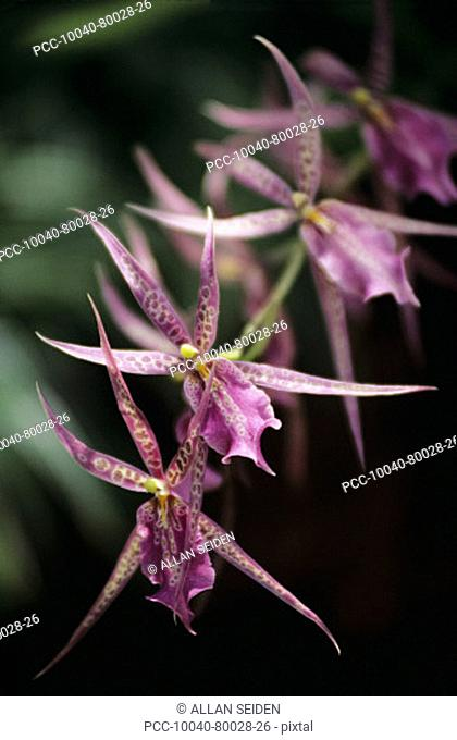 Close-up of a branch of pink spotted orchids