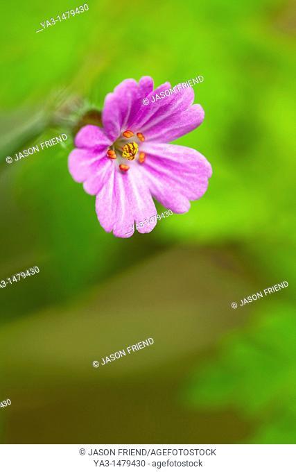 England, Northumberland, Herb Robert