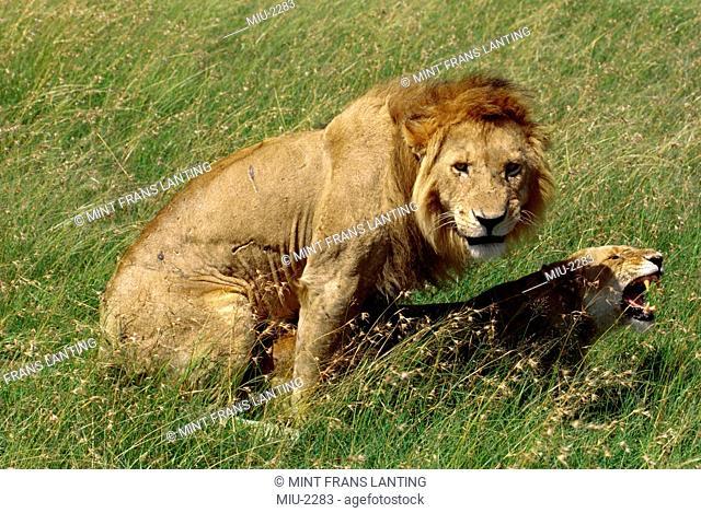 African lions mating, Panthera leo, Masai Mara Reserve, Kenya