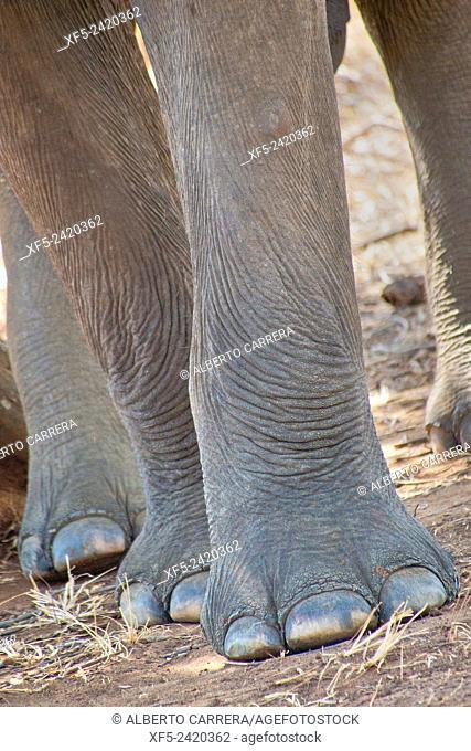 Sri Lankan Elephant, Elephas maximus maximus, Udawalawe National Park, Sri Lanka, Asia