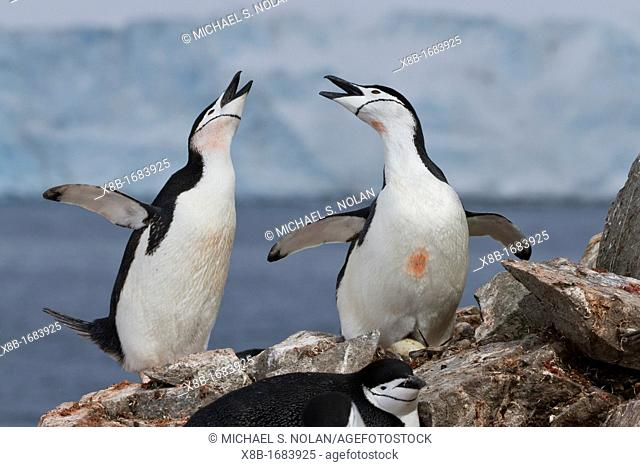 Adult chinstrap penguin Pygoscelis antarctica ecstatic display at breeding colony at Half Moon Island, Antarctica, Southern Ocean