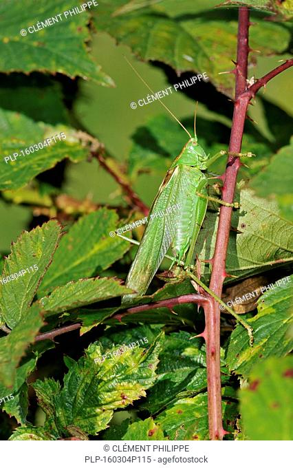 Great green bush cricket (Tettigonia viridissima) male showing camouflage colours in blackberry bush