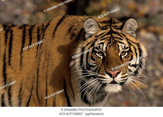 Young Siberian Tiger Portrait, Panthera tigris altaica