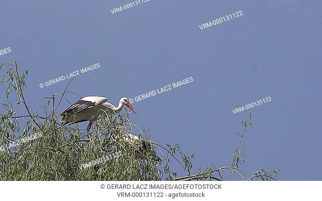 White Stork, ciconia ciconia, Pair standing on Nest, one in Flight, Alsace in France, Slow Motion