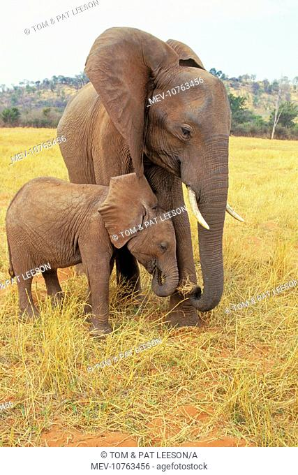 African Elephant - Cow with young calf (Loxodonta africana)