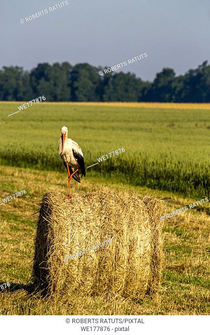 White stork on dry hay bale in green meadow, Latvia. Stork is tall long-legged wading bird with a long bill, with white and black plumage