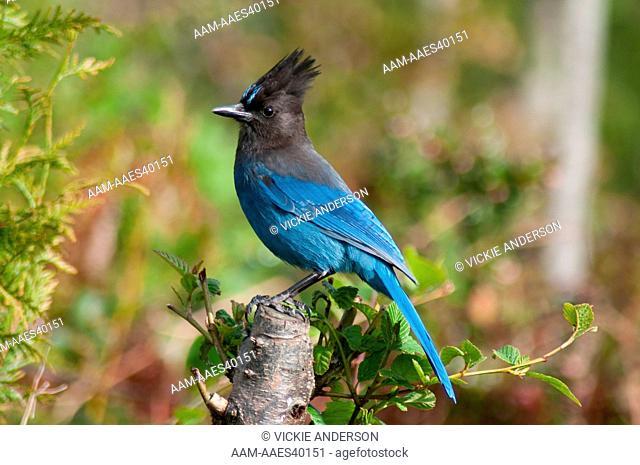 Steller'S Jay (Cyanocitta Stelleri) Western Washington