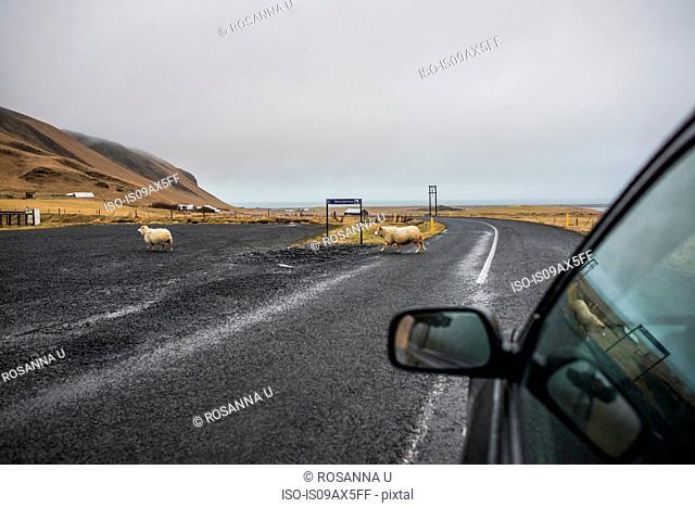Sheep crossing road, Vik, Iceland